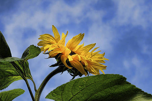 Sunflower by Tage Persson
