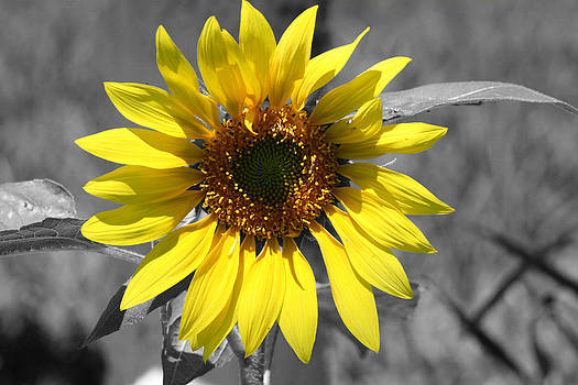 Sunflower by Terry Burgess