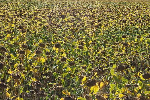 Sunflowers for harvest by Svetoslav Radkov
