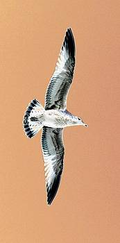 Sunset Seagull by Stephen Melcher