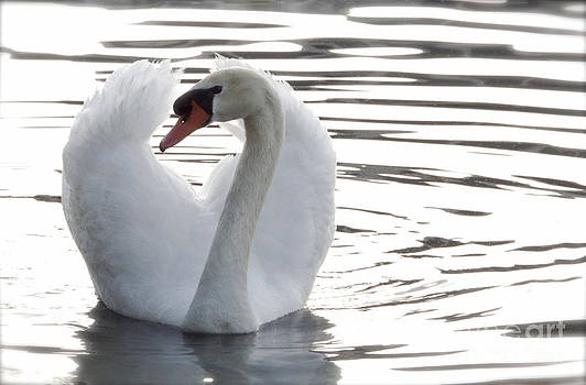 Swan on Lake Eola by Glennis Siverson