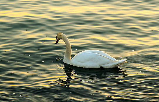 Swan reflection by Tibor Co