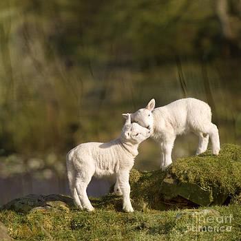 Angel Ciesniarska - sweet little lambs