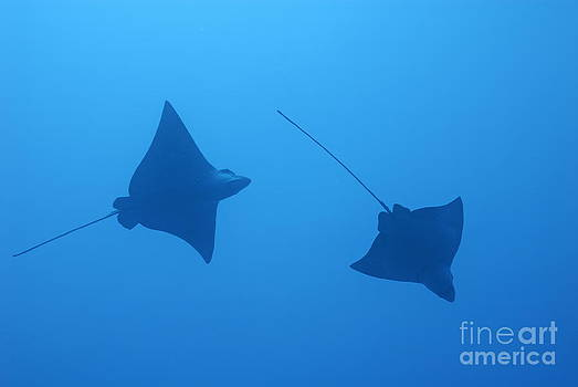 Swimming Spotted Eagle rays by Sami Sarkis