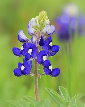 Texas Bluebonnet by Elizabeth Budd