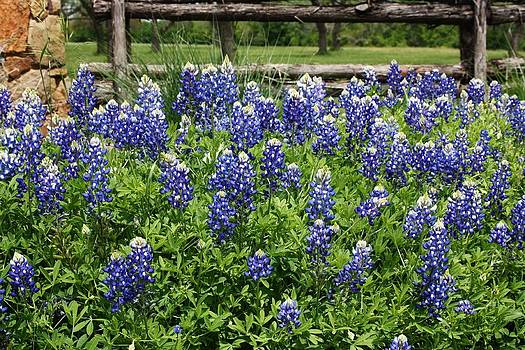 Texas Bluebonnets by Valerie Loop