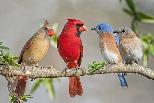 The Bluebirds Meet the Redbirds by Bonnie Barry