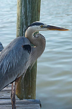 Carmen Del Valle - The Great Blue Heron