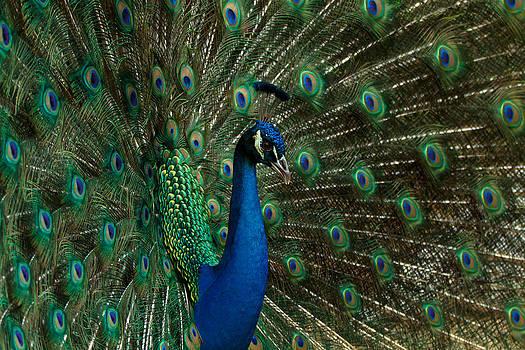 The Peacock by Susie Hoffpauir