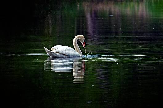 The Swan  by Cheryl Cencich