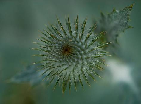 Thistle by Linda Freebury