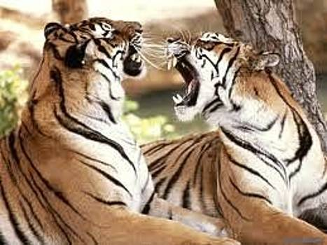 Tiger by Adalberto Vazquez Gomez
