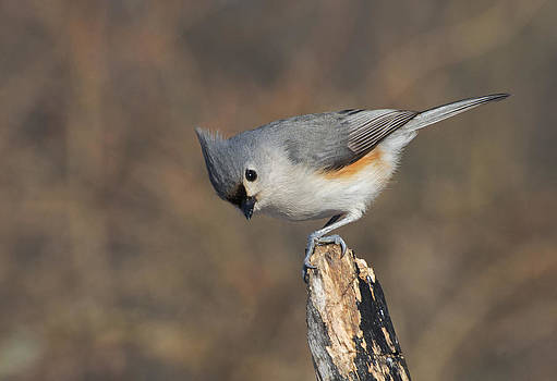 Titmouse by Cheryl Cencich