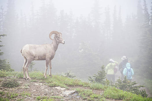 Tourists Admiring Big Horned Sheep Ovis by Josh Miller Photography