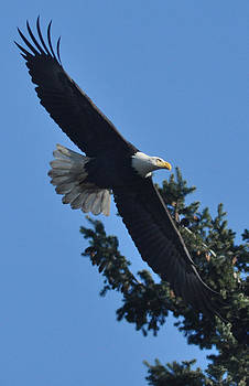 Treetop Eagle by Brent Easley