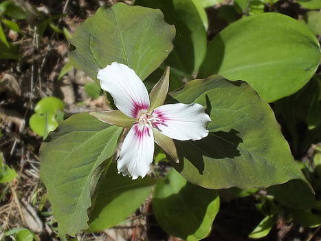 Gene Cyr - Trillium