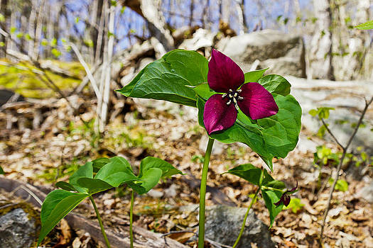 Trillium by Rockybranch Dreams