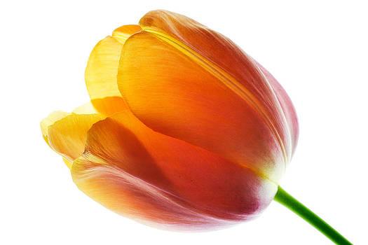 Tulip by Alena Bytcankova