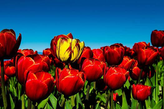 Tulips by Blanca Braun