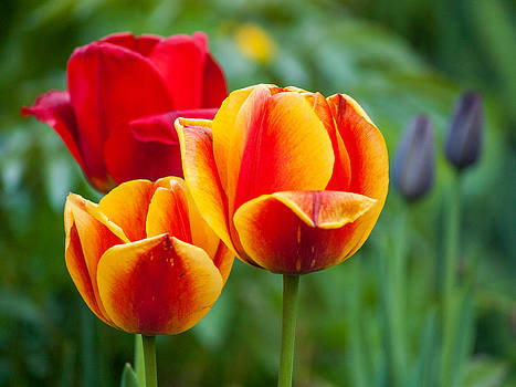 Tulips by Davorin Mance