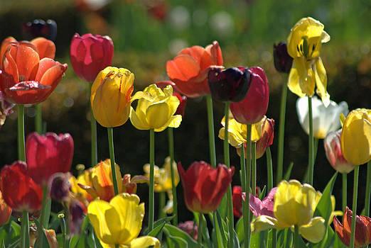 Tulips by Judy Salcedo