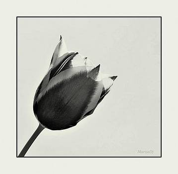 Tulips by Marija Djedovic