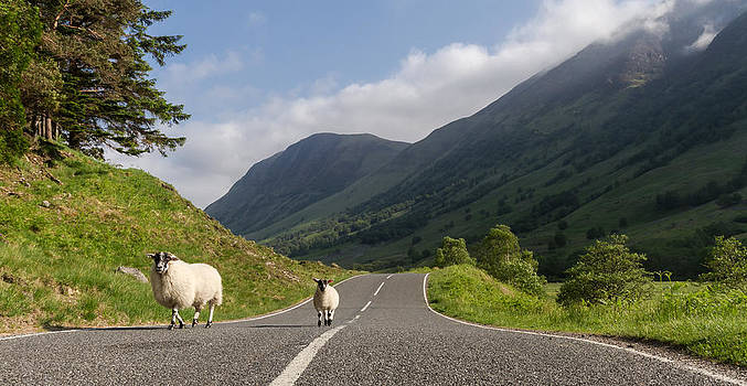 Two sheeps walking along a road in the scottish highlands by Leander Nardin