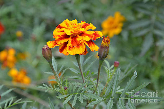 Ukrainian flowers. by Leonid Nozdrachov