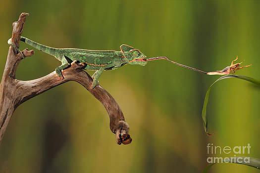 Scott Linstead - Veiled Chameleon Catches Cricket
