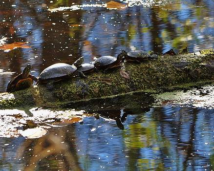 Water Turtles in Canal by William Fox
