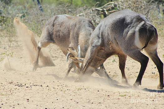 Hermanus A Alberts - Waterbuck Fight