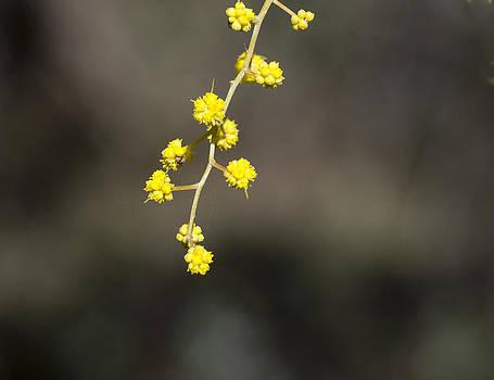 Steven Ralser - Wattle Buds - Australia