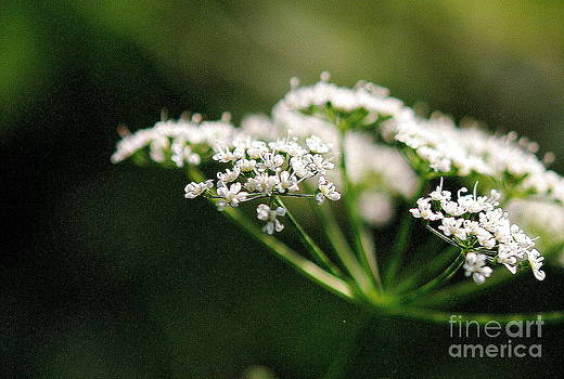 White And Delicate by Christy Phillips