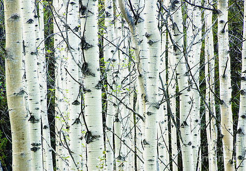 Oscar Gutierrez - White birch tree forest