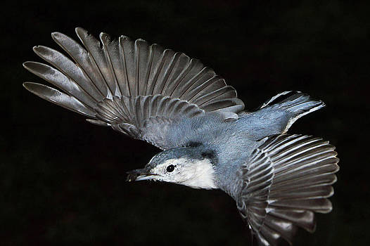 Leda Robertson - White-breasted Nuthatch In Flight