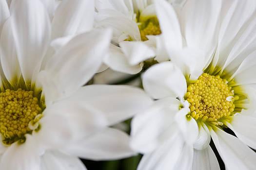 White Daisy by John Holloway