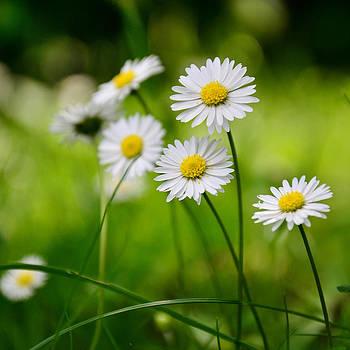 Gynt - White flowers