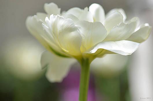White Green Tulip by JoAnn Lense