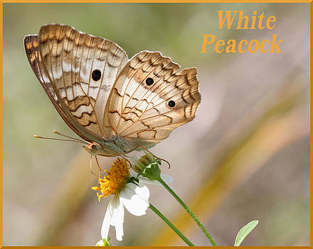 White Peacock Butterfly by April Wietrecki Green