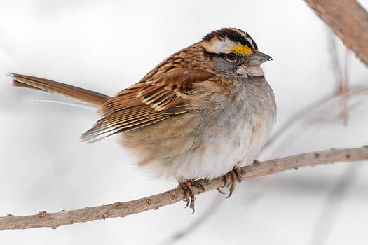 Gaurav Singh - White-throated Sparrow