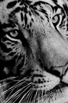 White Tiger by Mary Elizabeth White
