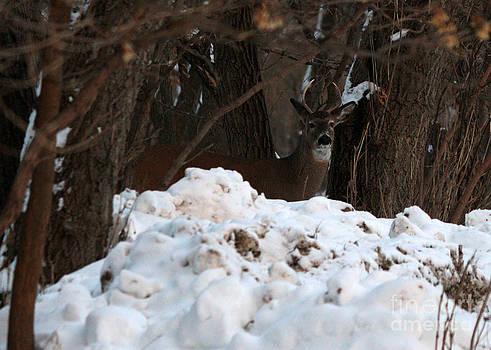 Whitetail buck by Lori Tordsen
