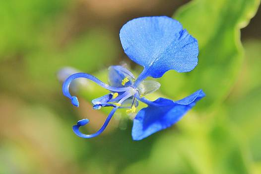Hermanus A Alberts - Wild Flowers - Blue Wonder