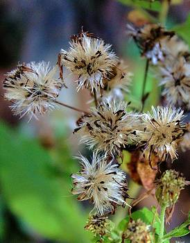 Wild Flowers by Pierre Labrosse
