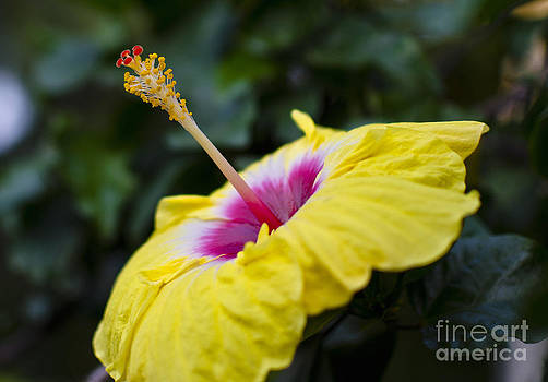Pravine Chester - Yellow Hibiscus
