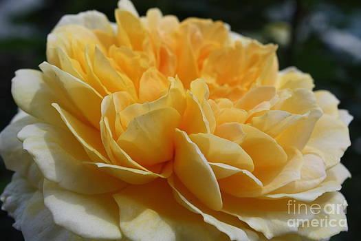 Danielle Groenen - Yellow Rose