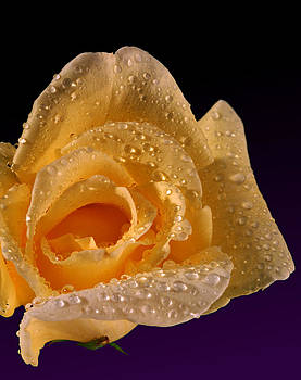 Dennis James - Yellow Rose