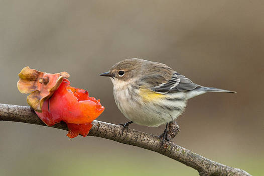 Yellow-rumped Warbler by Doug Herr