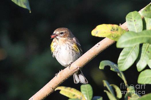 Yellow-rumped Warbler by Jennifer Zelik