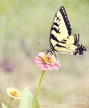 Yellow Swallowtail and Zinnia by Pam  Holdsworth